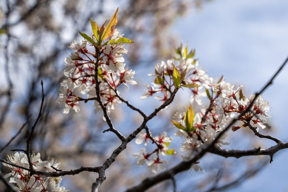 A close look at Armenian Plum Blossoms.