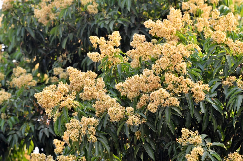 Clusters of Lychee tree blossoms.