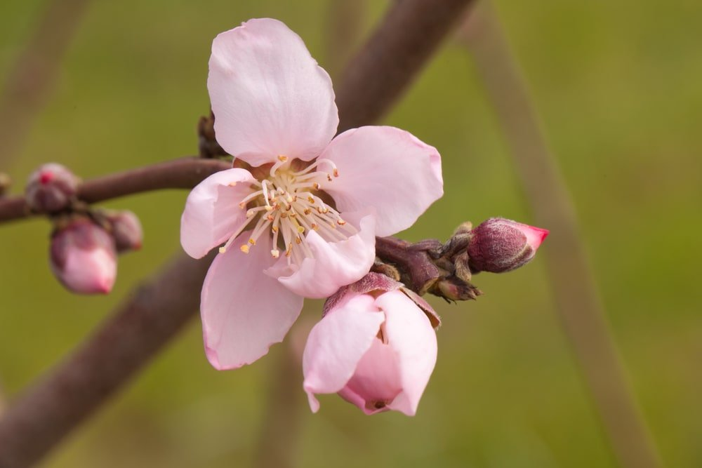A close look at the flowers of a Nectarine tree.