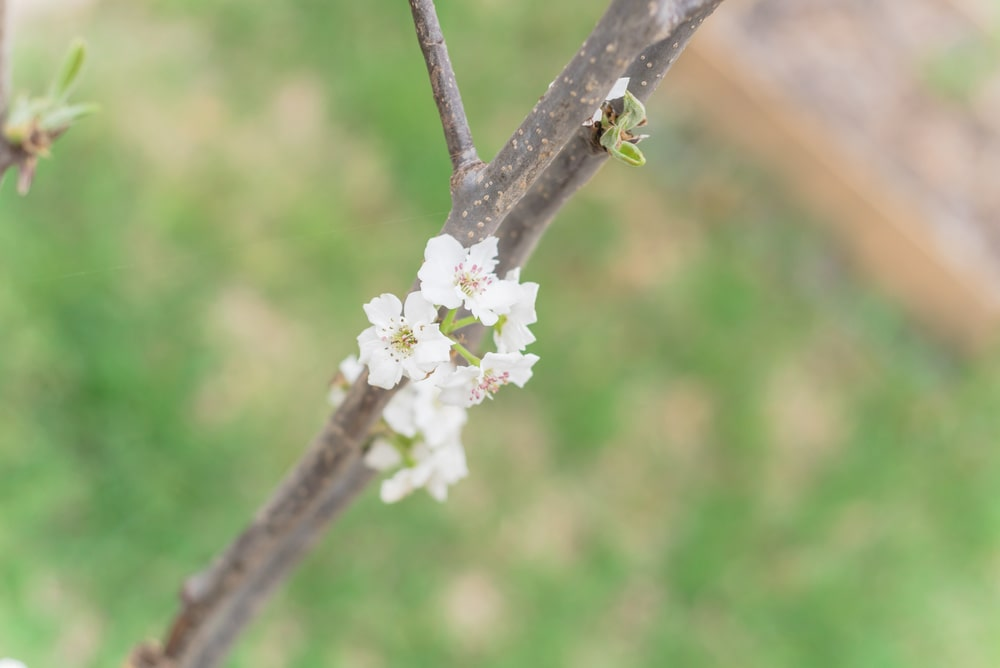 A close look at a blossoming Asian Pear.