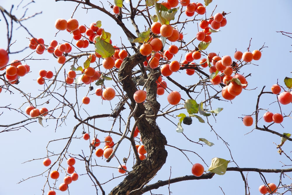 A close look at a Persimmon Tree.