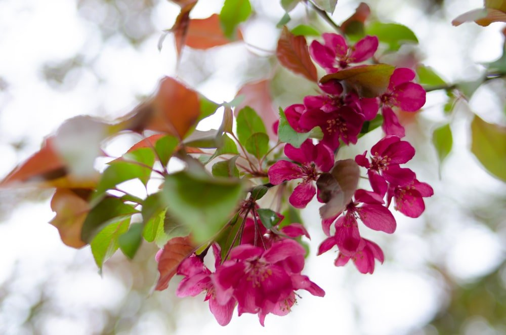 A close look at a blooming Prairifire Flowering Crabapple.