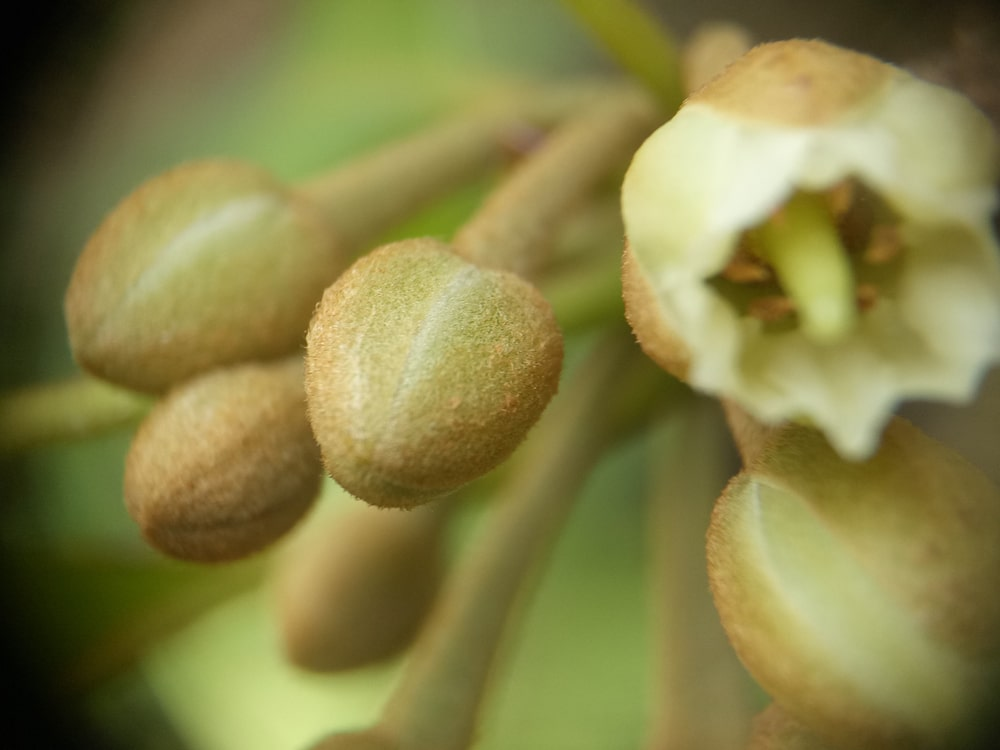 A close look at a blooming Sapodilla.