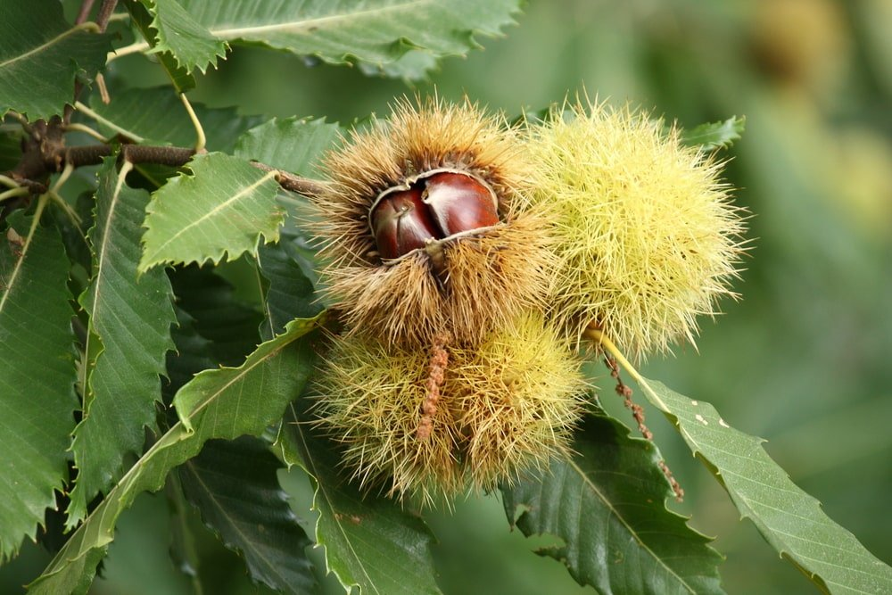 A close look at ripe sweet chestnut fruits.