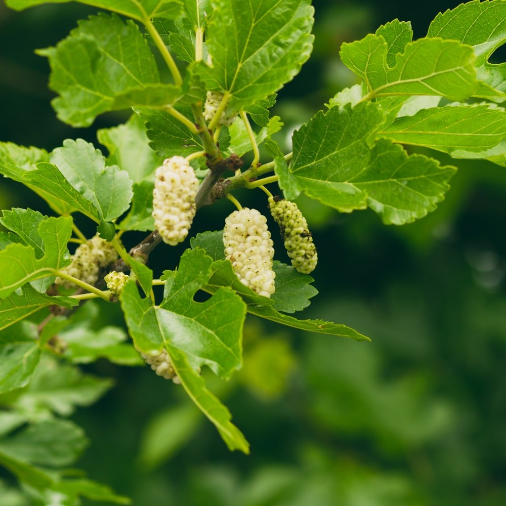 A close look at a blooming white mulberry.