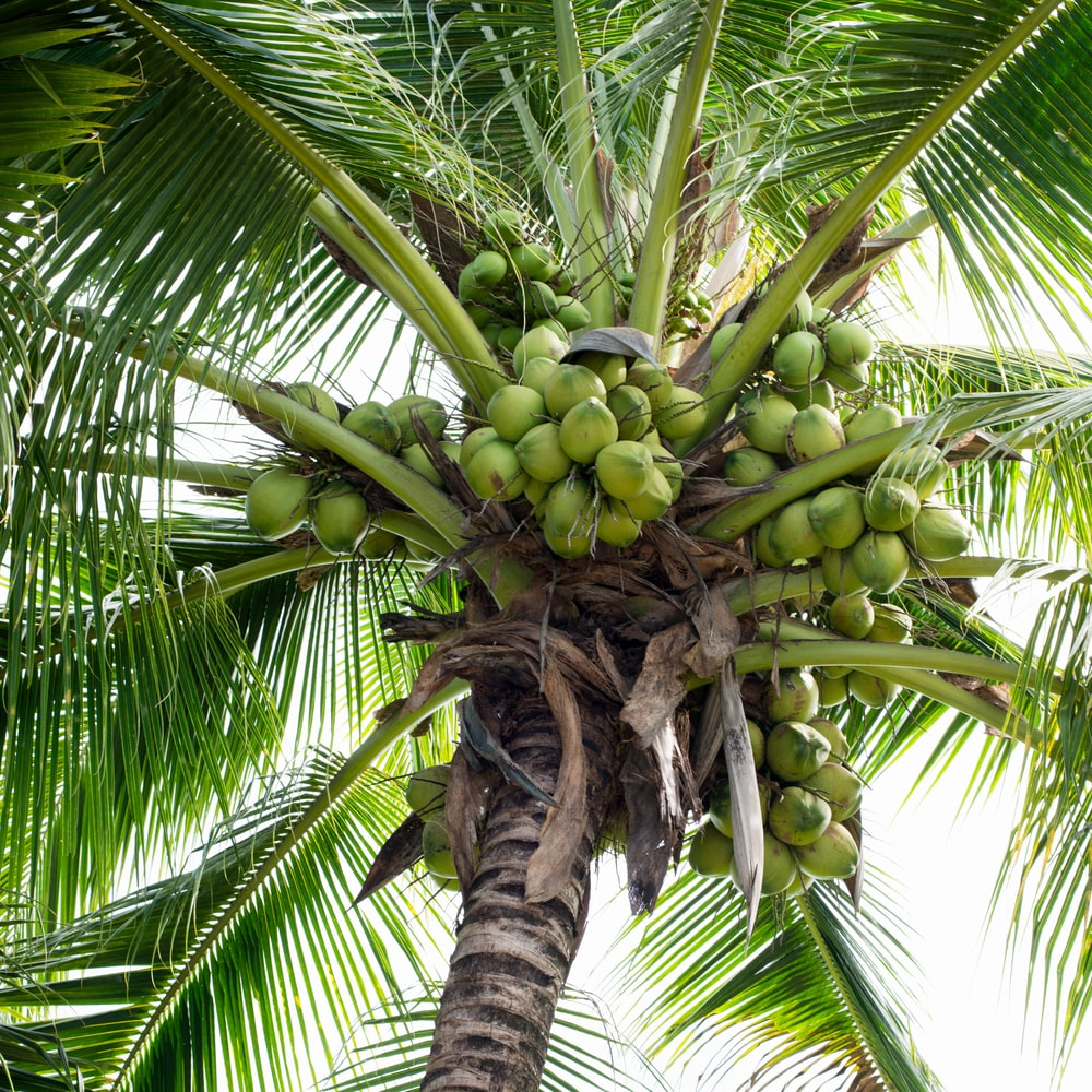 A close look at a coconut tree with fruits.