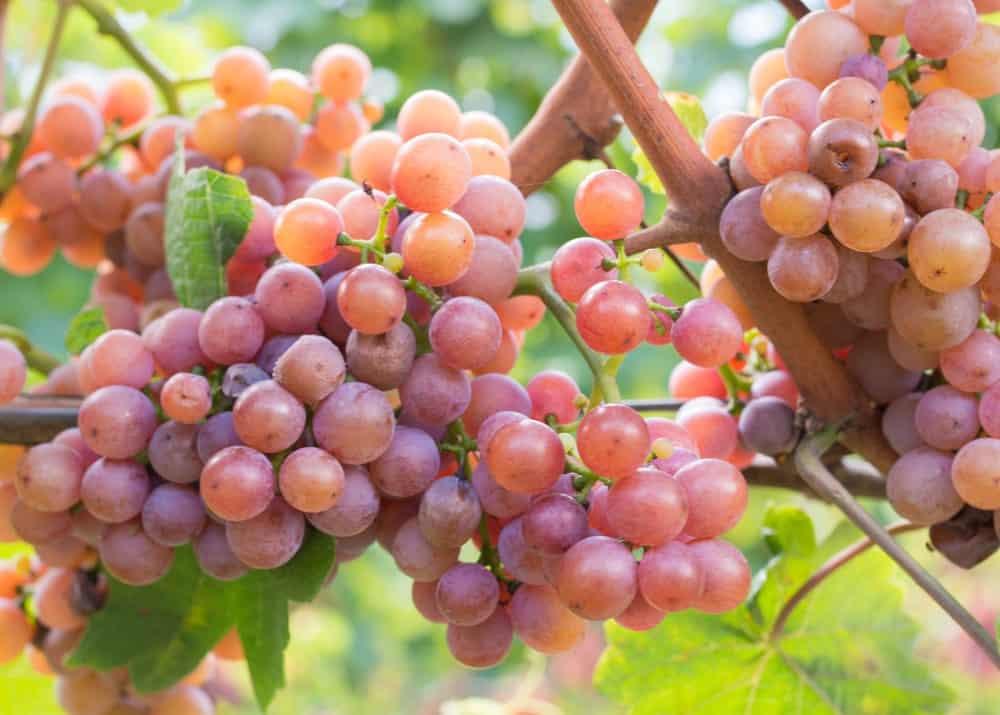 Gewurztraminer grapes on a tree.