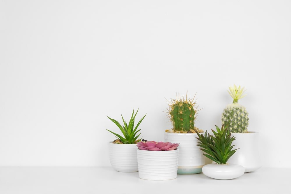 A variety of succulents in white pots.