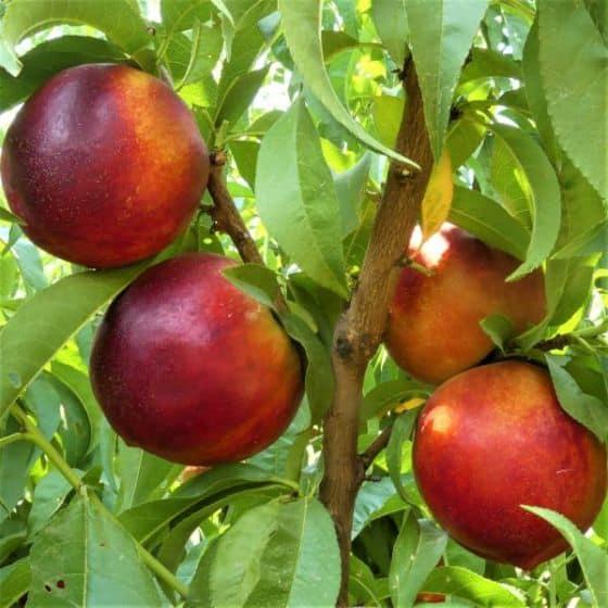 Independence nectarine fruits