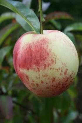 John Rivers nectarine