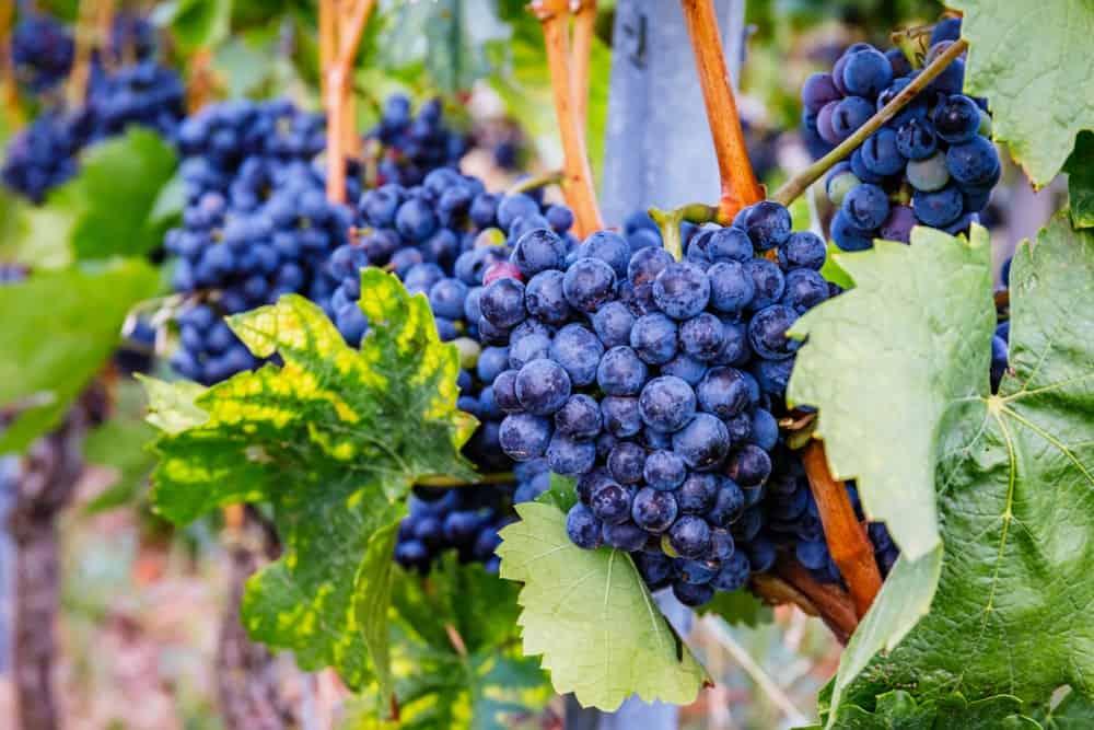 Blue Lemberger grapes
