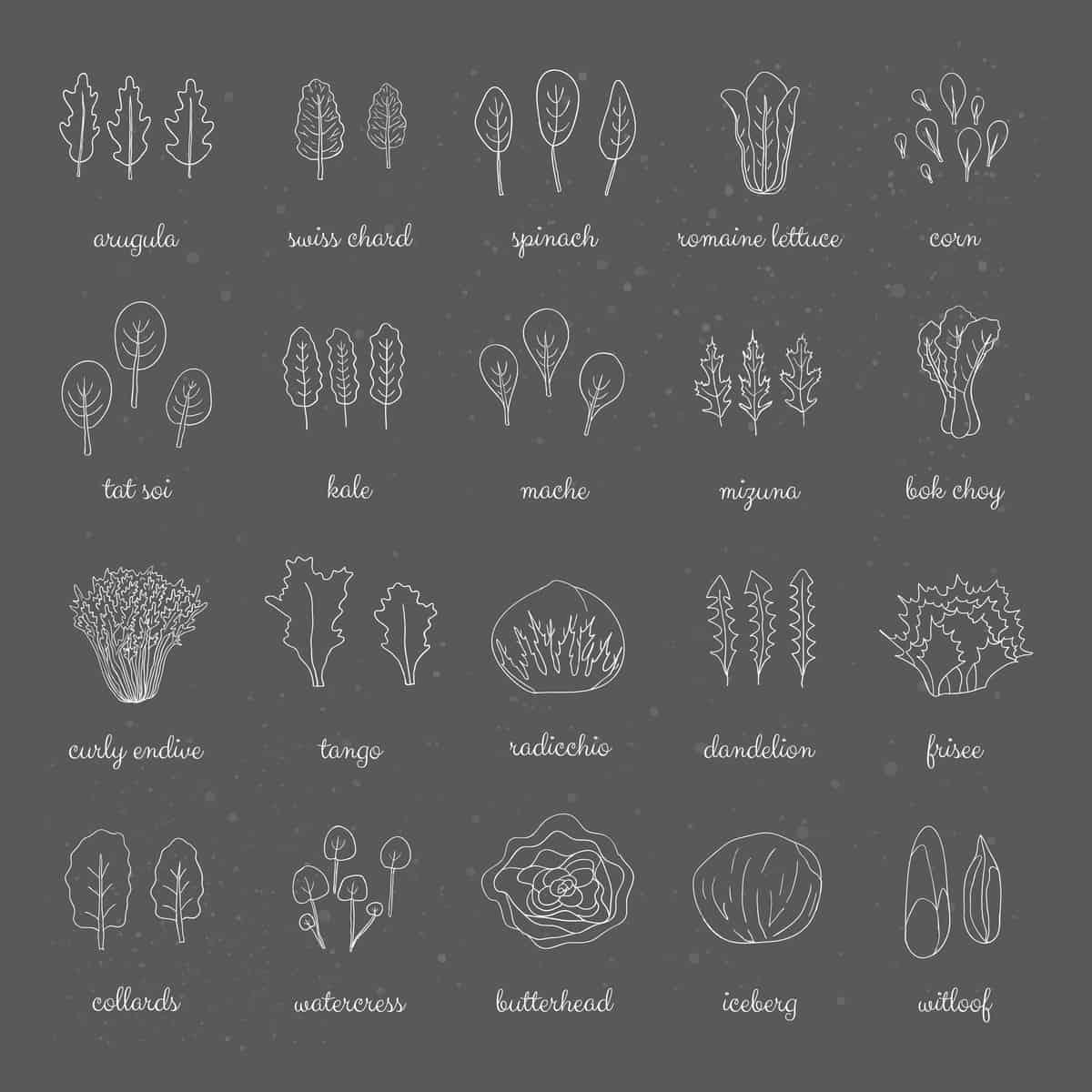 Types of lettuce chart