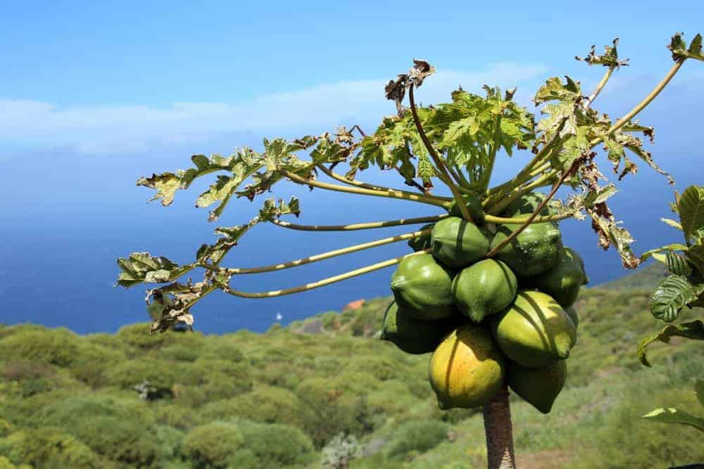 Carica papaya tree on an expansive greenery with an ocean view.