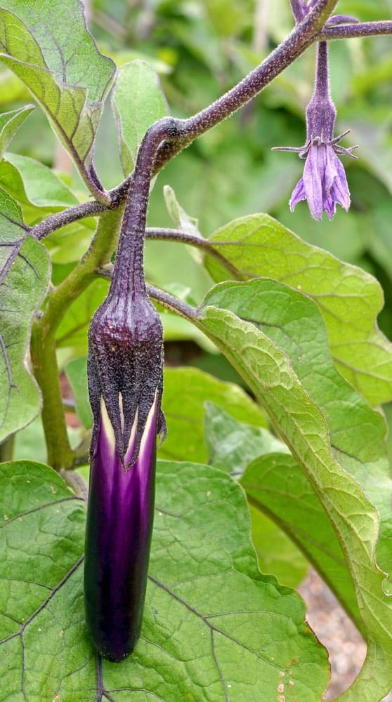 Ping Tung eggplant hanging from a stem.