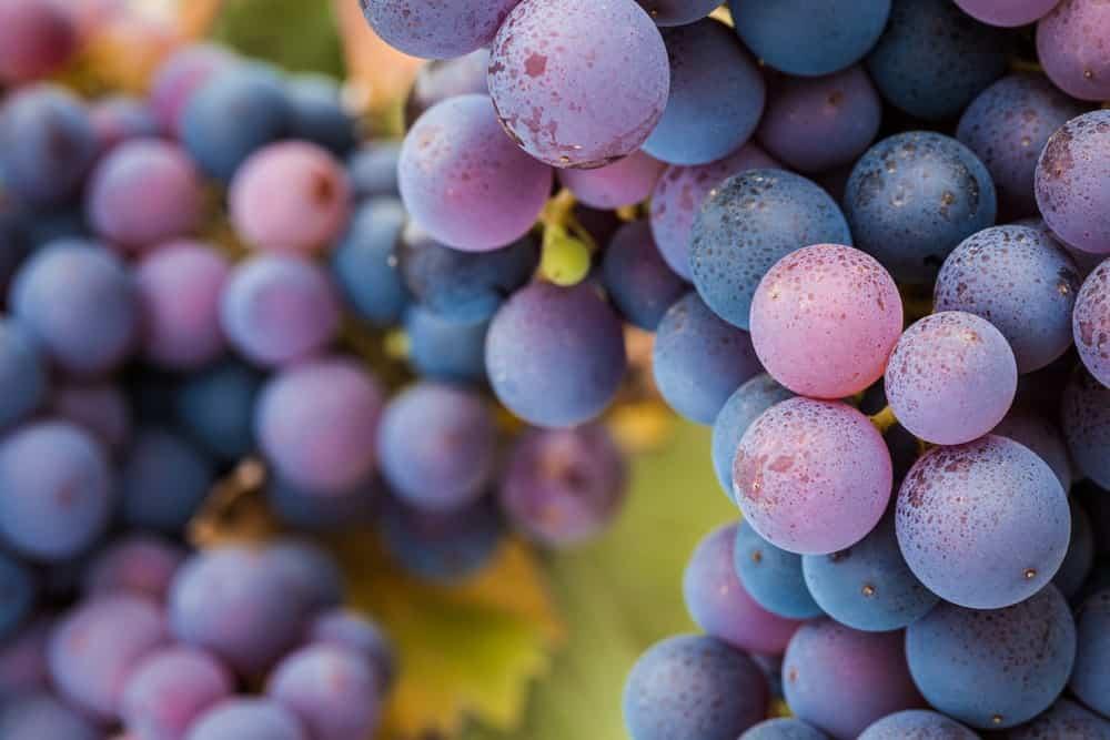 A closeup shot of Pinot Noir grapes.