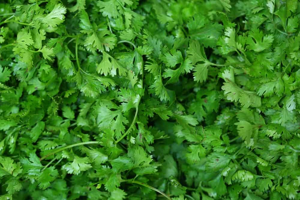 Closeup shot of cilantro leaves.