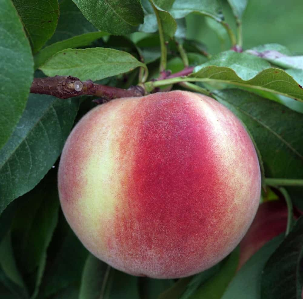 White flesh peach on a tree.