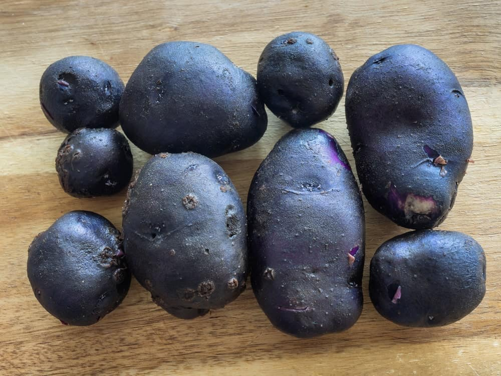 All blue potatoes against wooden table.