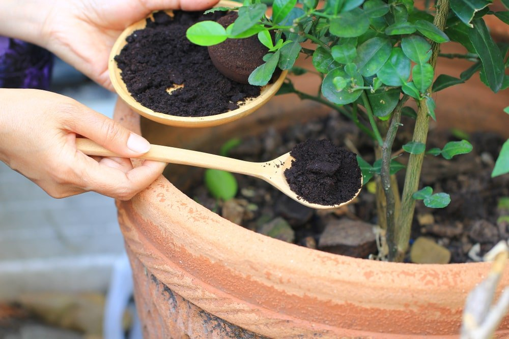 Coffee grounds being applied onto a potted plant.