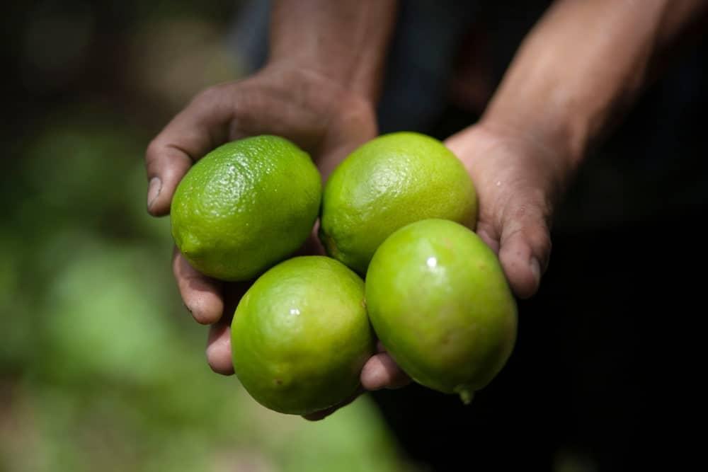 Woman holding four pieces of Dorshapo lemons.