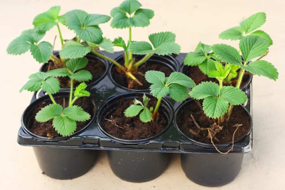 Elsanta strawberries plant on black pots.
