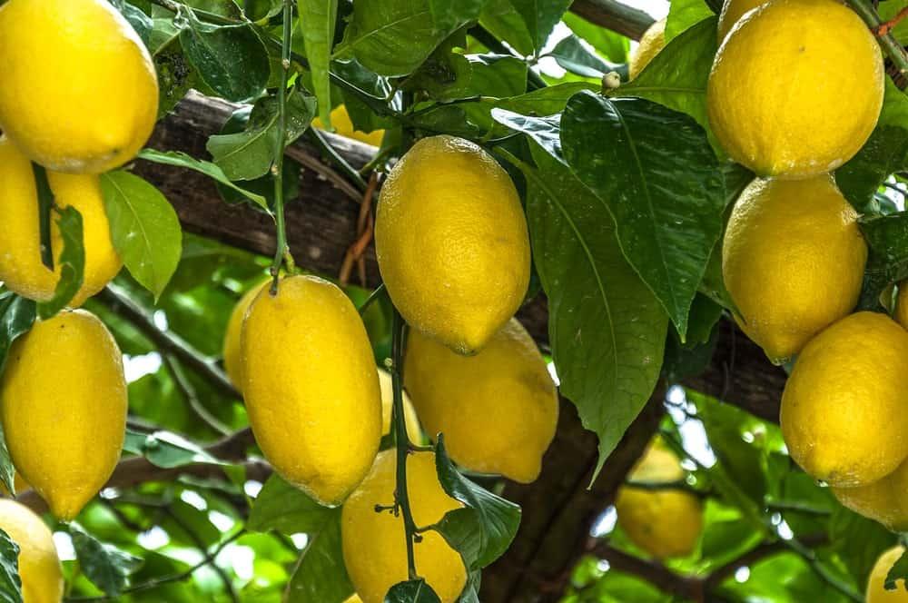 Femminello St. Teresa lemons hanging from a tree.