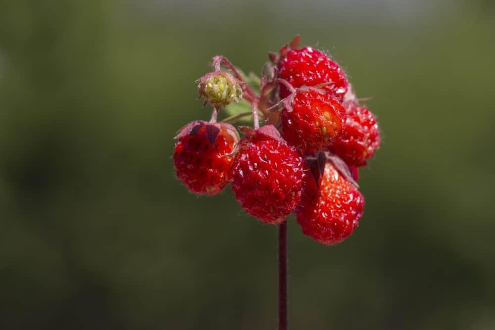 Fragaria Virginiana strawberries
