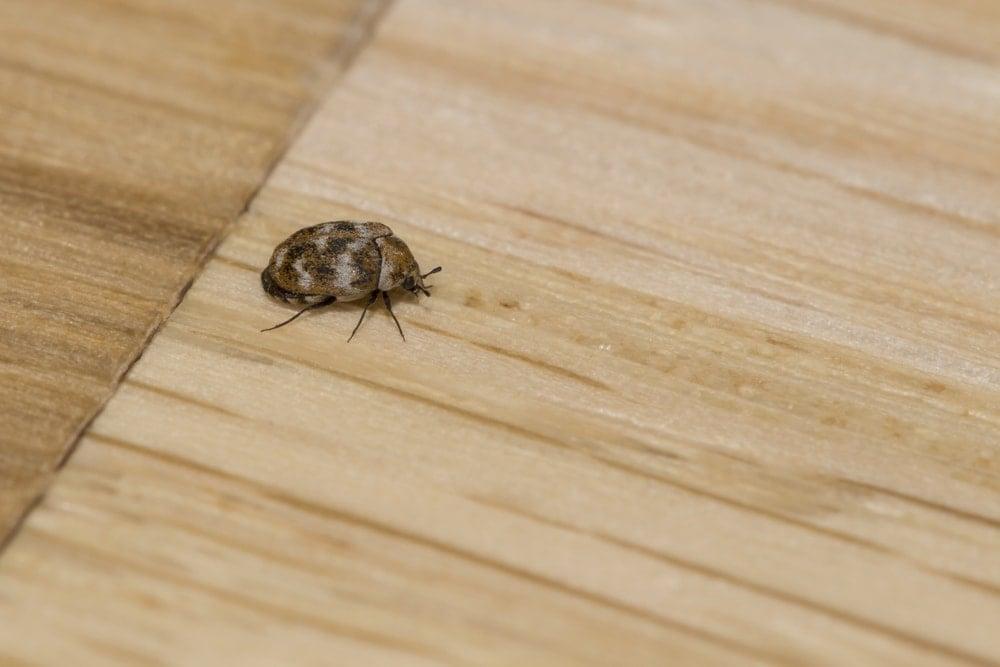 A look at a brown carpet beetle on a light hardwood flooring.