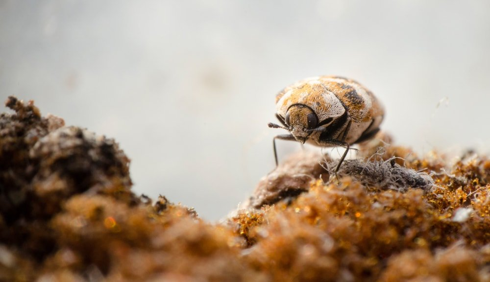 A close look at a carpet beetle walking on an old sponge.