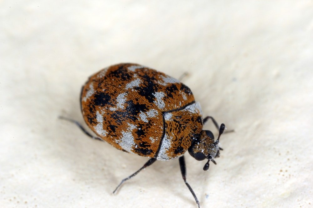 A close look at a carpet beetle walking on a white cloth.