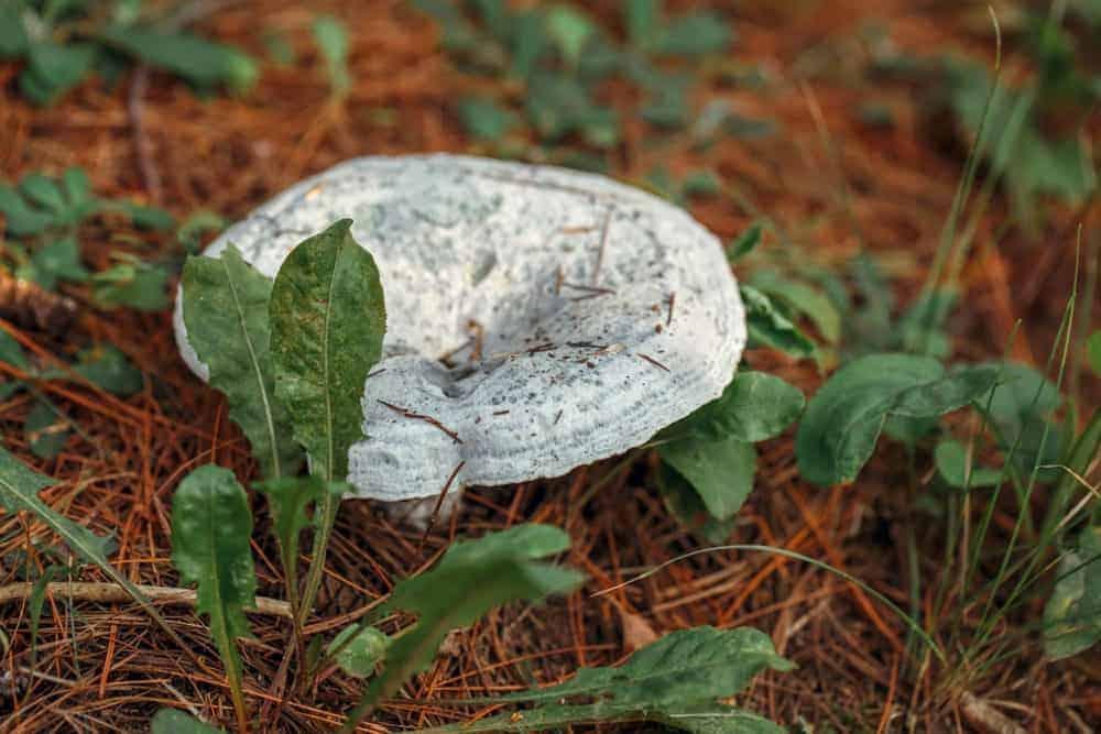 Lactarius indigo mushroom