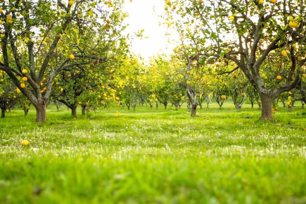 Low angle shot of a lemon orchard.