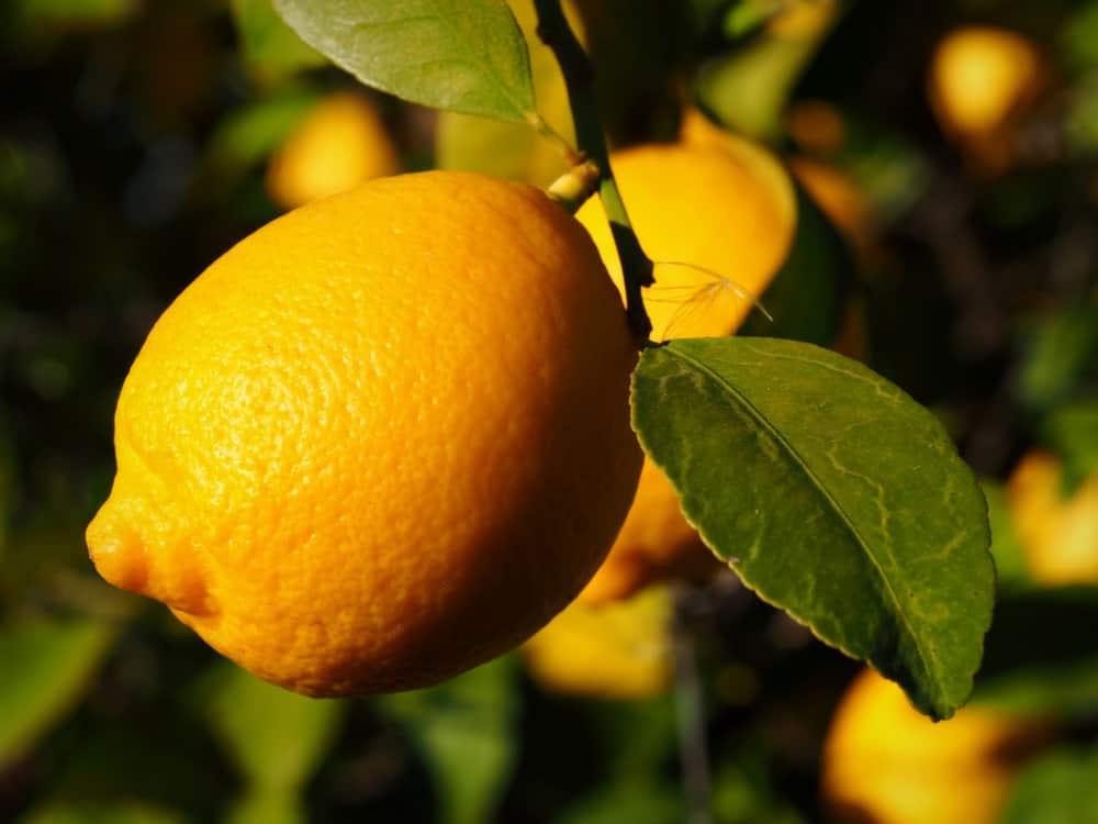 Lisbon lemon hanging from a tree.