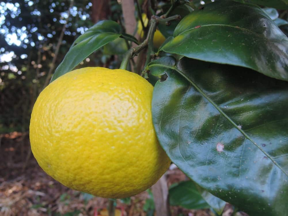 Marsh seedless grapefruit hanging on a tree.