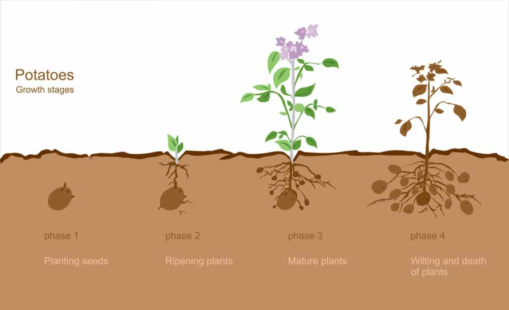 Potato growth stages chart