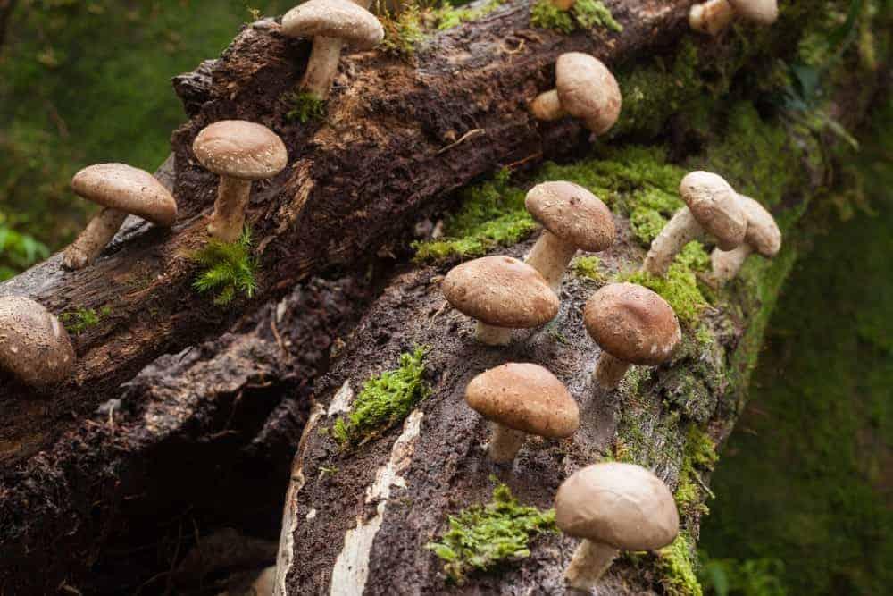 Shiitake mushrooms on a tree stump.