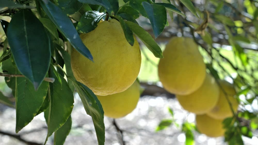 True lemons hanging from a tree.