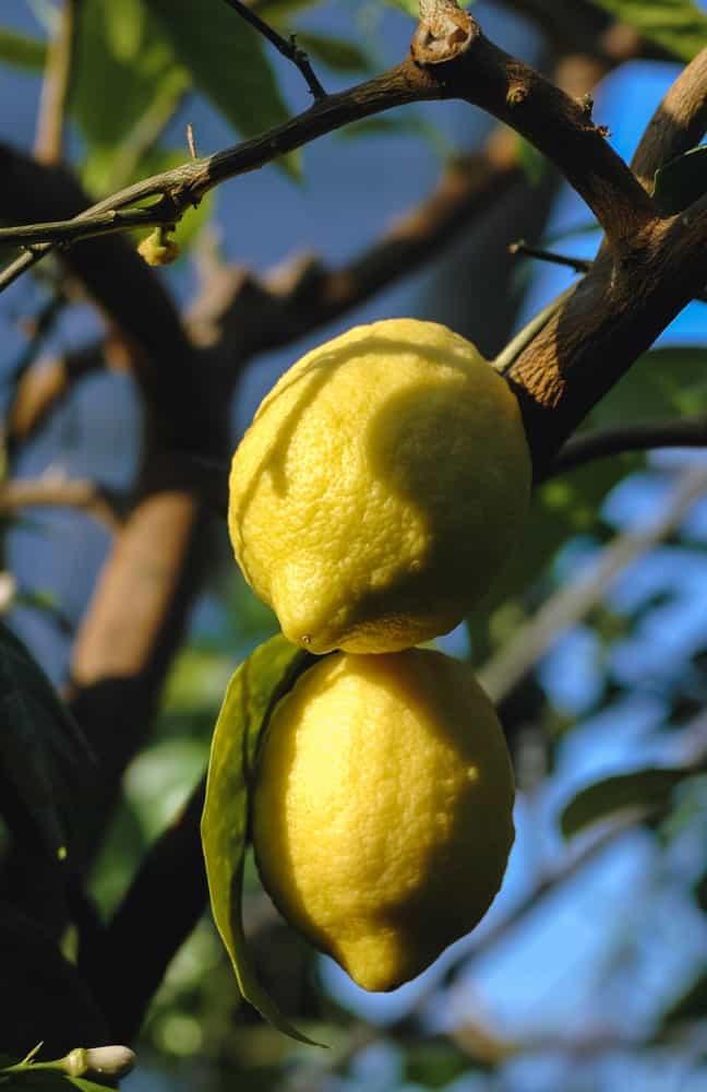 Villafranca lemons hanging from a tree.