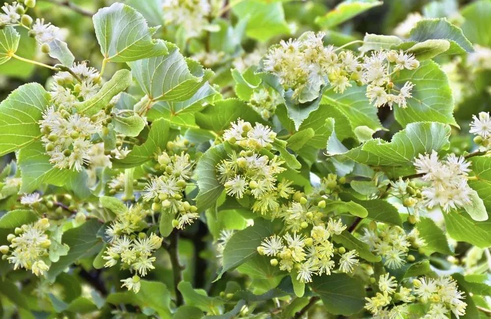 Wild lime plants