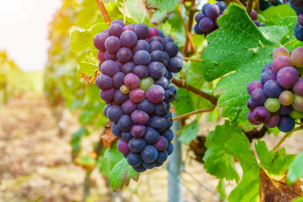 Champagne grapes growing on the vine