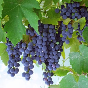 Concord grapes growing on vine
