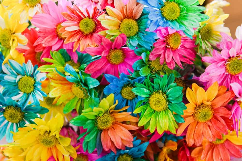 Daisies in rainbow colors.