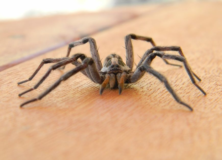 A close look at a large spider on a wooden surface.