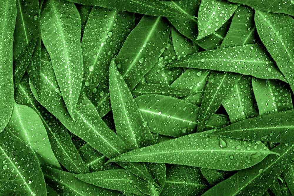 A bunch of green eucalyptus leaves with raindrops.