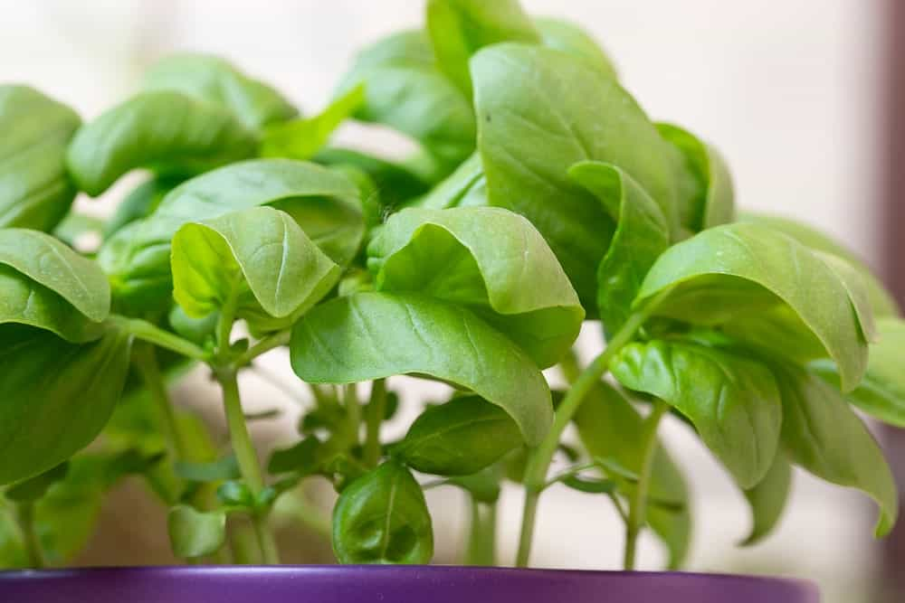 Closeup of Italian Large Leaf basil in a purple pot.