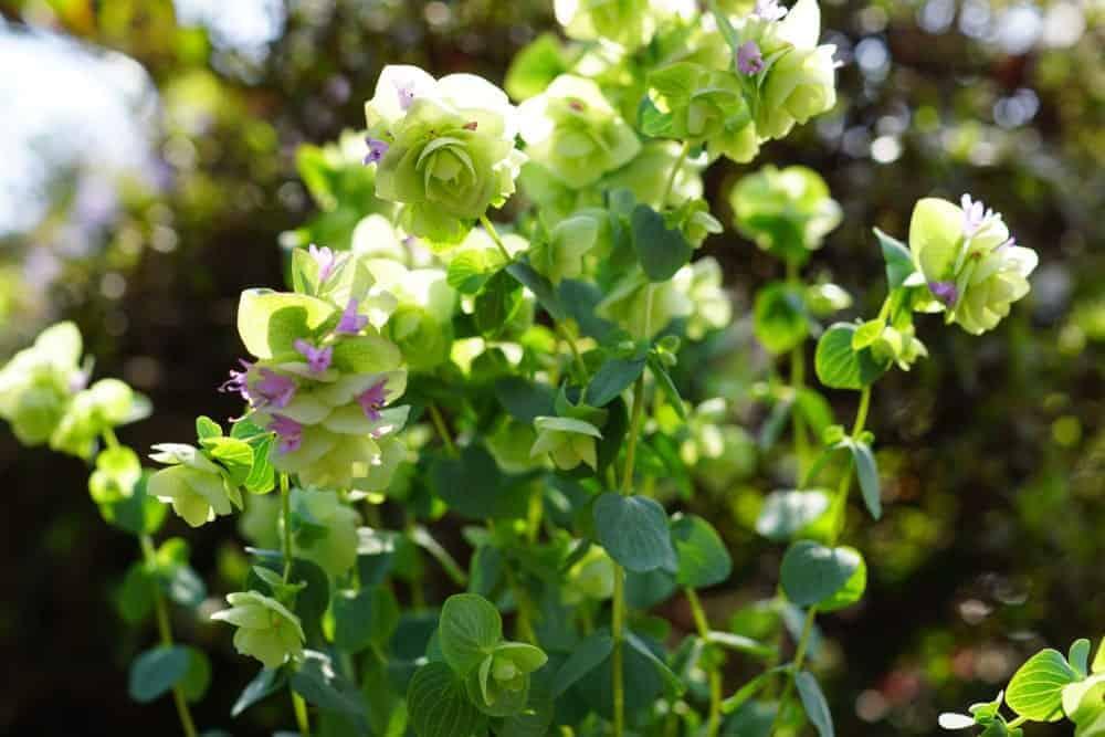 Kent Beauty oregano in a garden.