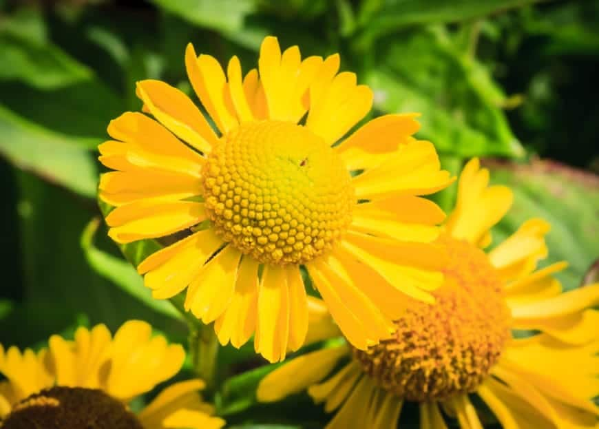 Yellow daisies (Helenium)
