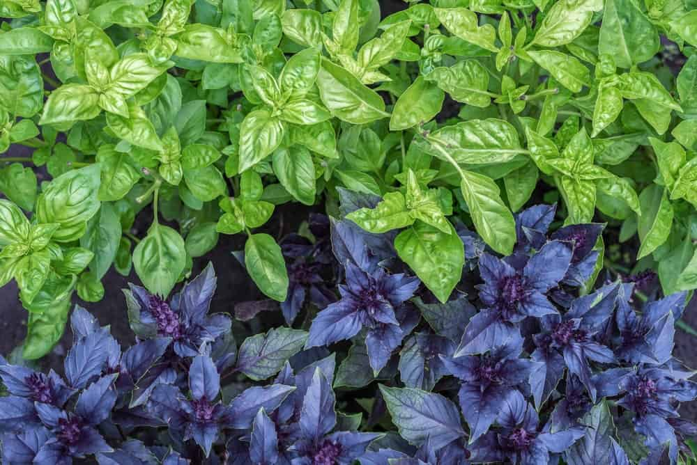 Top view of green and purple basil.