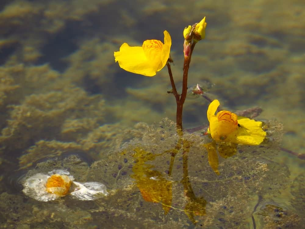 A close look at a blooming carnivorous bladderwort.