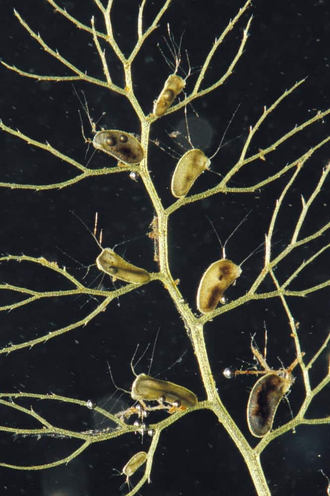 A closer look at the leaf of a bladderwort.
